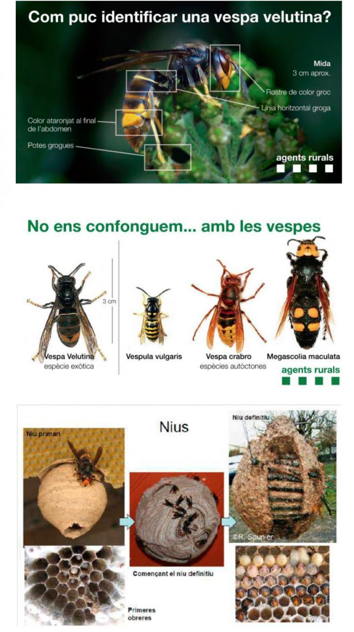 Protocol d'actuació davant la presència de nius de vespa velutina (vespa asiàtica)